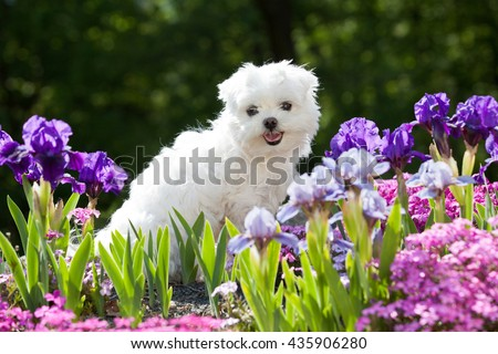 Portrait of nice young maltese dog - stock photo