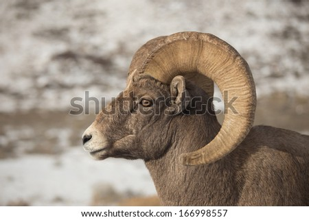 Portrait of North American Bighorn Sheep Ram