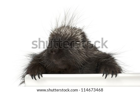 Portrait of North American Porcupine, Erethizon dorsatum, also known as Canadian Porcupine or Common Porcupine getting out of box, e against white background - stock photo