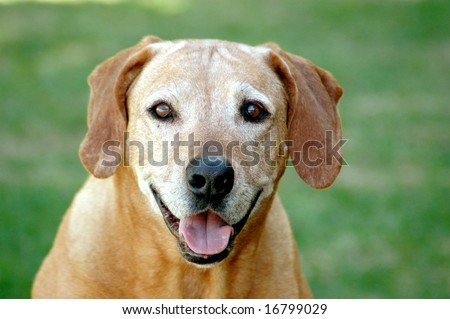 Portrait of old Rhodesian Ridgeback hound dog - stock photo