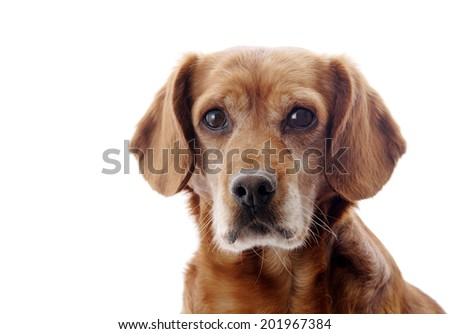 Portrait of one brown dog (mongrel) isolated on white.Studio shot