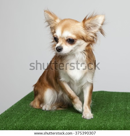 Portrait of one dog of Chihuahua breed sitting on green grass carpet and white background