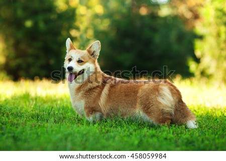 portrait of one dog of welsh corgi pembroke breed with white and red coat with tongue, standing outdoors on green grass on summer sunny day