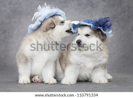 Portrait of one month old alaskan malamute puppies in a hat - stock photo