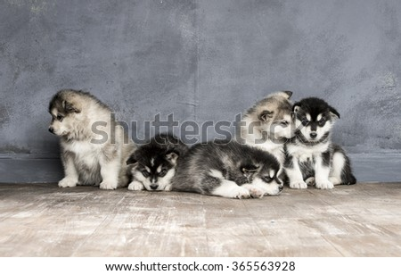 Portrait of one month old alaskan malamute puppys closeup in studio