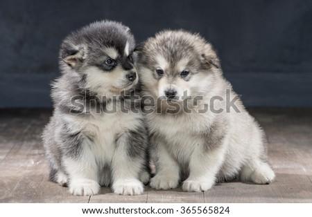 Portrait of one month old alaskan malamute puppys closeup in studio - stock photo