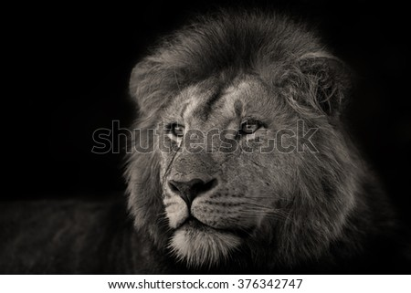 Portrait of one of the Rekero Lions in Masai Mara, Kenya