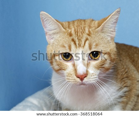 Portrait of Orange and white tabby cat on blue textured background, looking straight ahead. Copy space - stock photo