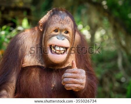 Portrait of Orangutan. - stock photo