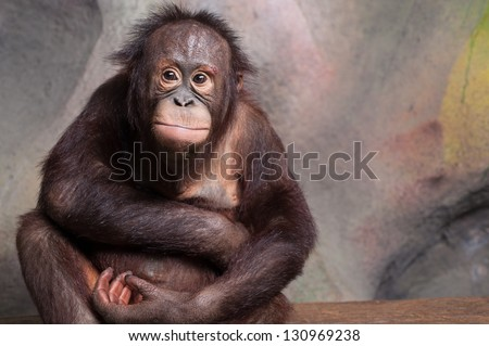 Portrait of Orangutan (Pongo pygmaeus) - stock photo