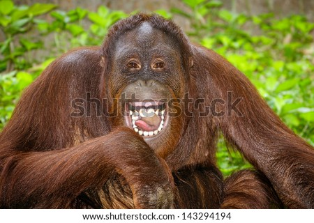 Portrait of Orangutan (Pongo pygmaeus) laughing with mouth wide open - stock photo