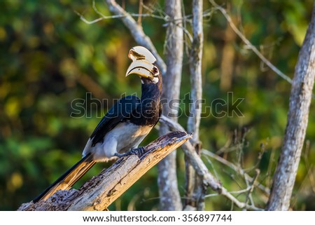 Portrait of Oriental pied hornbill(Anthracoceros albirostris) on the branch in nature