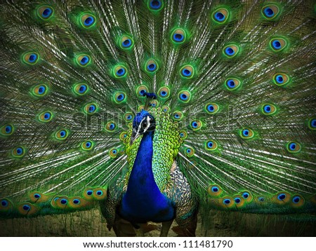 Portrait of Peacock with Feathers Out - stock photo