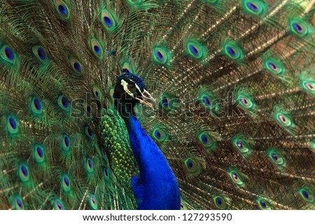 Portrait of  peafowl beautiful with feathers out