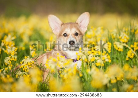 Portrait of pembroke welsh corgi puppy sitting on the field with flowers