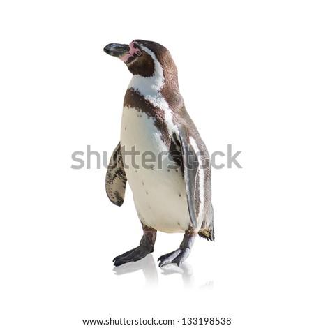 Portrait Of Penguin Isolated On White Background - stock photo