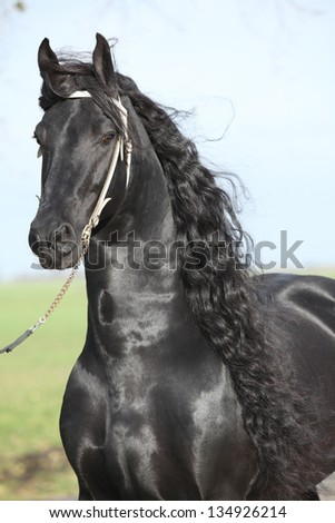 Portrait of perfect friesian stallion with beautiful long hair and white bridle - stock photo