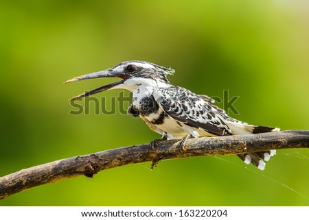 Portrait of Pied Kingfisher (Ceryle rudis) in nature - stock photo