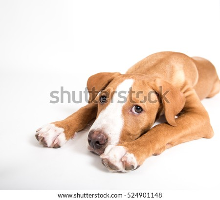 Portrait of Pit Bull Puppy on White Background