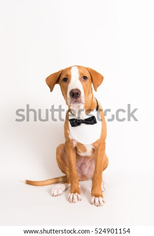 Portrait of Pit Bull Puppy Wearing Black Tie and Tuxedo Bib