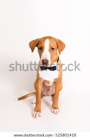 Portrait of Pit Bull Puppy Wearing Black Tie Tuxedo Bib
