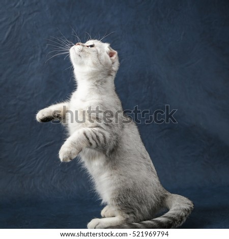 Portrait of playing cat scottish fold on dark blue background