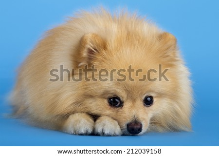 Portrait of pomeranian spitz isolated on blue background - stock photo