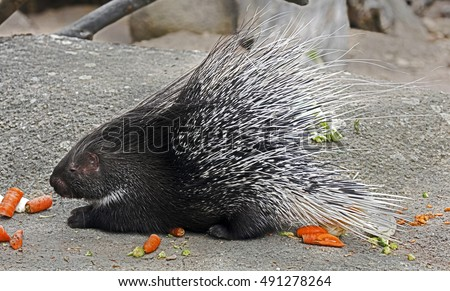 Portrait of porcupine in its enclosure eating carrots