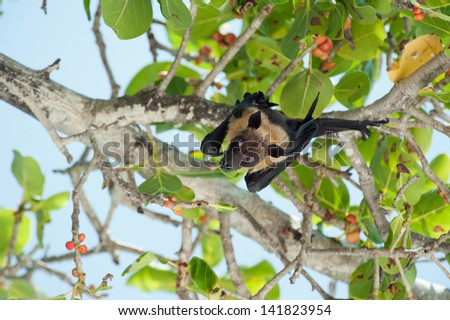 Portrait of Pteropus on the tree - stock photo