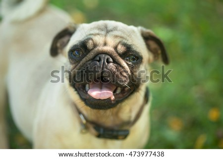 Portrait of  Pug dog standing in the grass background