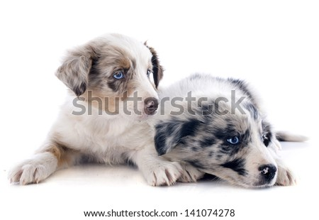 portrait of puppies border collie in front of white background
