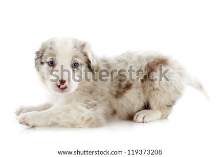 portrait of puppy border collie in front of white background