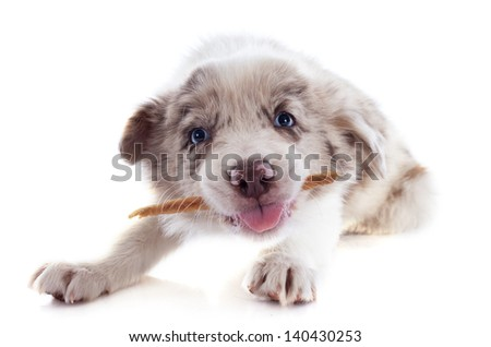 portrait of puppy border collie who eating a stick in front of white background