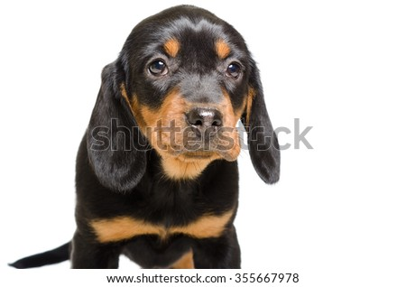 Portrait of puppy breed Slovakian Hound, closeup, isolated on white background - stock photo
