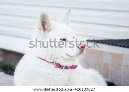 portrait of puppy dog Akita-inu. the color is white.