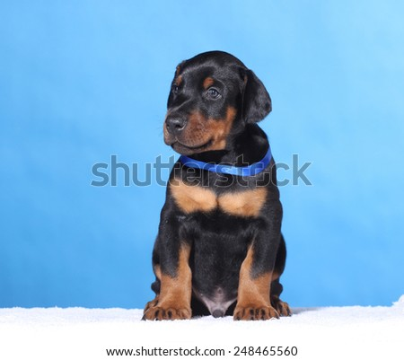 Portrait of Puppy with blue belt  on blue background - stock photo