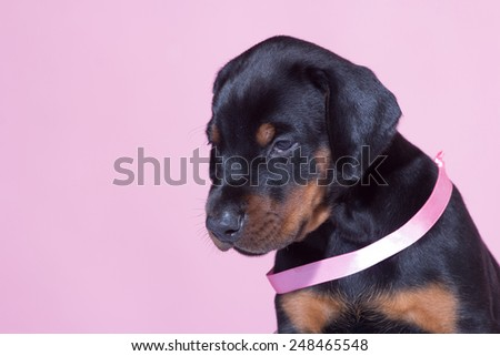 Portrait of Puppy with pink belt  on pink background - stock photo