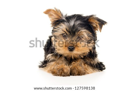 Portrait of puppy Yorkshire Terrier isolated on a white background - stock photo