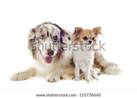 portrait of purebred border collie and chihuahua in front of white background