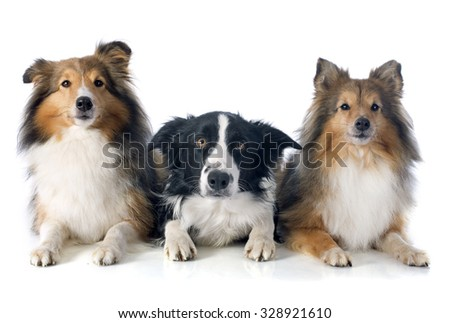 portrait of purebred border collie and shetland sheepdogs in front of white background