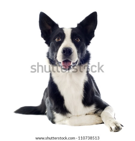 portrait of purebred border collie in front of white background