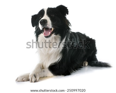 portrait of purebred border collie in front of white background - stock photo
