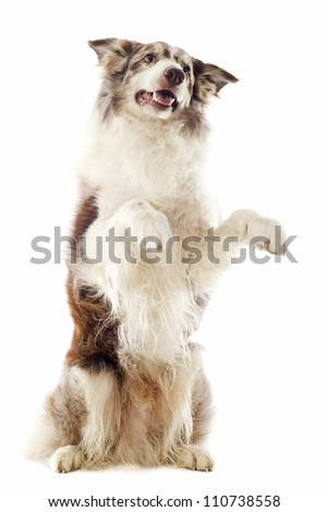portrait of purebred border collie standing on his hind legs