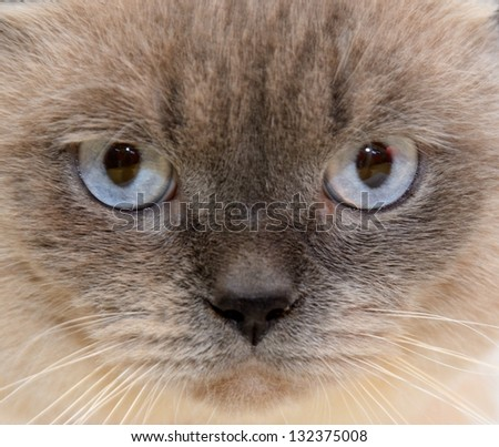 Portrait of purebred cat close-up - stock photo
