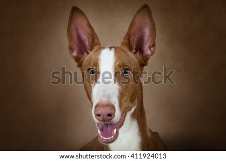 Portrait of purebred Podenco ibicenco dog against brown background