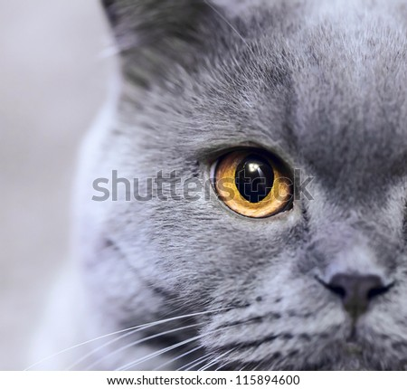 Portrait of purebred Russian blue cat closeup - stock photo