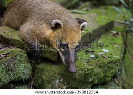 portrait of quati at the Cataratas do Iguacu national park - stock photo
