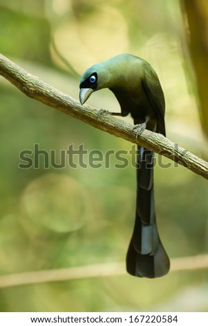 Portrait of Racket-tailed Treepie(Crypsirina temia) in nature