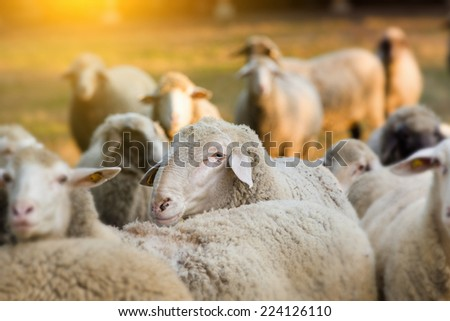 Portrait of ram in sheep herd on farmland - stock photo