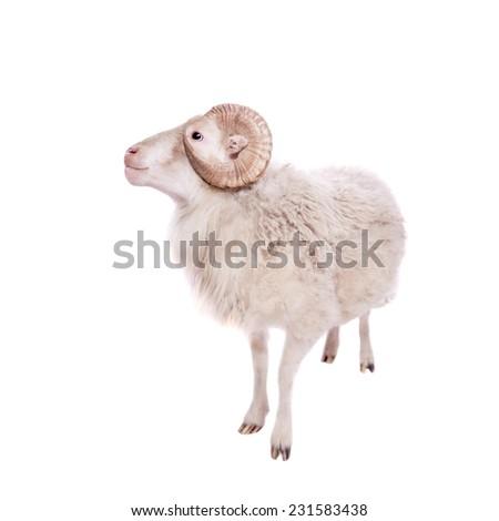 Portrait Of ram On White - stock photo